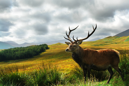 Stag On A Hill