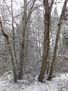 Silver Birch In Winter - photo by Jane Valencia (c) 2014