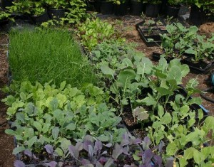 You'll see delicious greens like this at your local CSA organic farm!