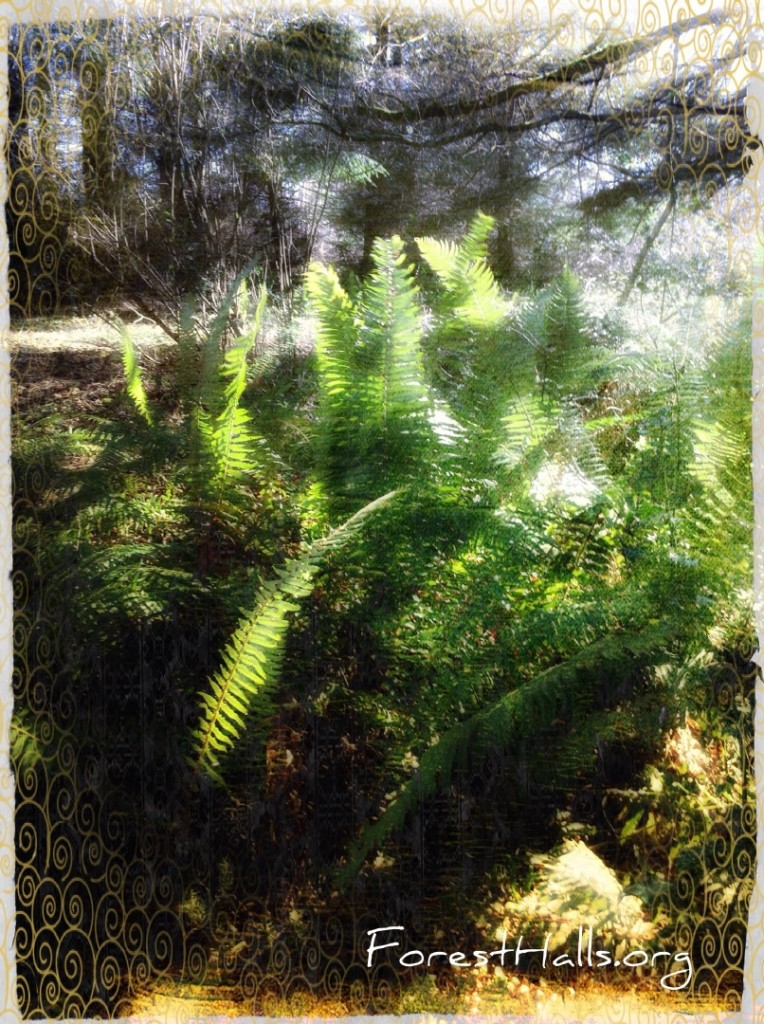 Sword Ferns imitating Leaves the Red Fox - photo by Jane Valencia