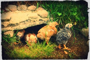 Sunbalm Castle: Chicks
