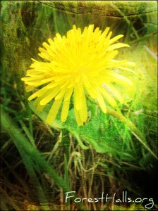 Dandelion - photo by Jane Valencia