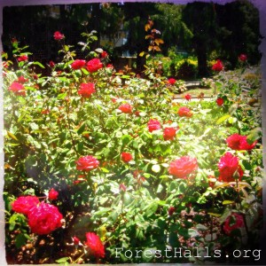 Red Roses - photo by Jane Valencia