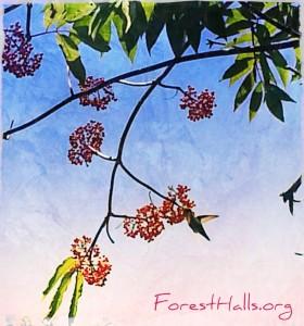 Red Elder & Hummingbird
