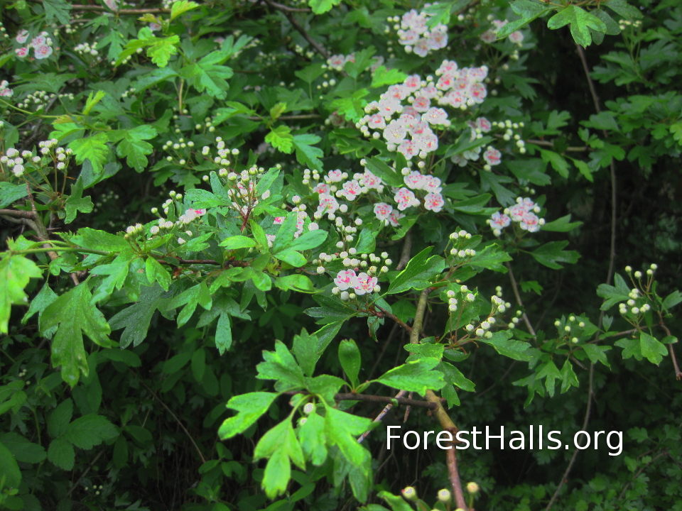Hawthorn in Flower photo