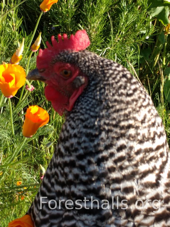 Barred Rock Hen