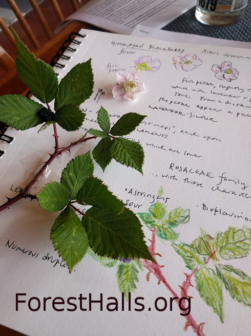 Journaling Himalayan Blackberry - photo